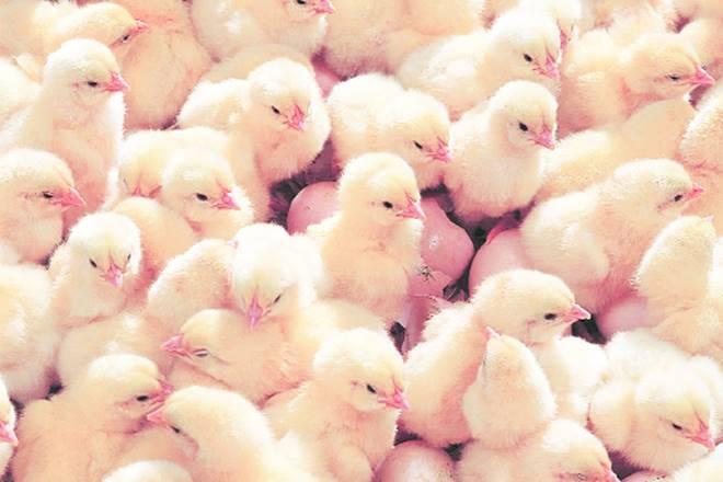 Kerala Peps Up Poultry业务随着泰米尔纳德邦鸡肉价格占据了高度