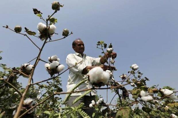 粉红色的鸡蛋攻击:马哈拉施特将种子Cos指挥为CottonFarmers支付210亿卢比