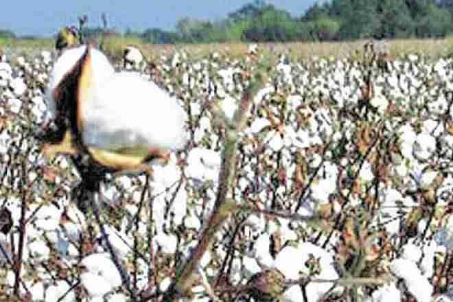 破坏的承诺:棉花价格下跌8-13%以下MSP,其他作物甚至更多