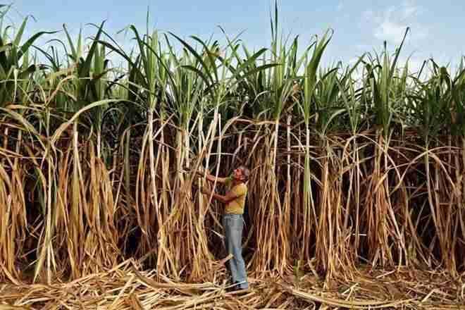 政府每Quintal夺得甘蔗FRP,每Qualtal 217-18